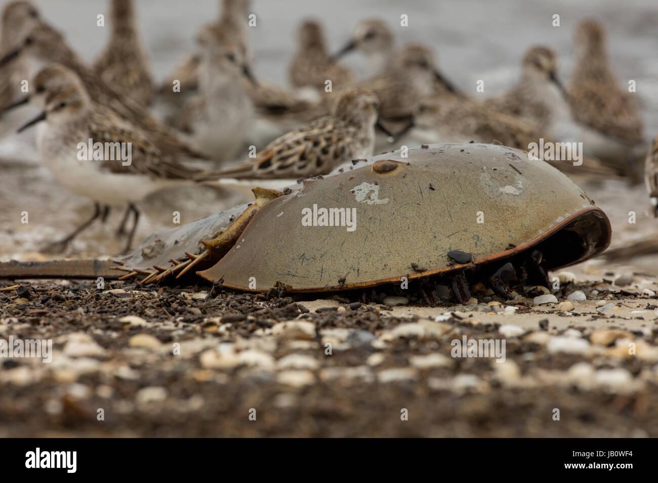 Limulus Polyphemus Imágenes De Stock & Limulus Polyphemus Fotos De ...