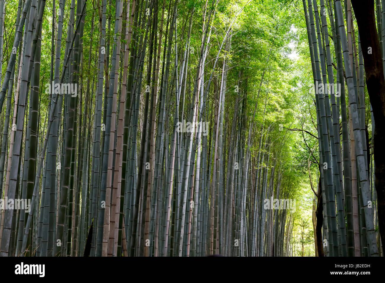 El bosque de bambú de Arashiyama, Kyoto, Japón. Imagen De Stock