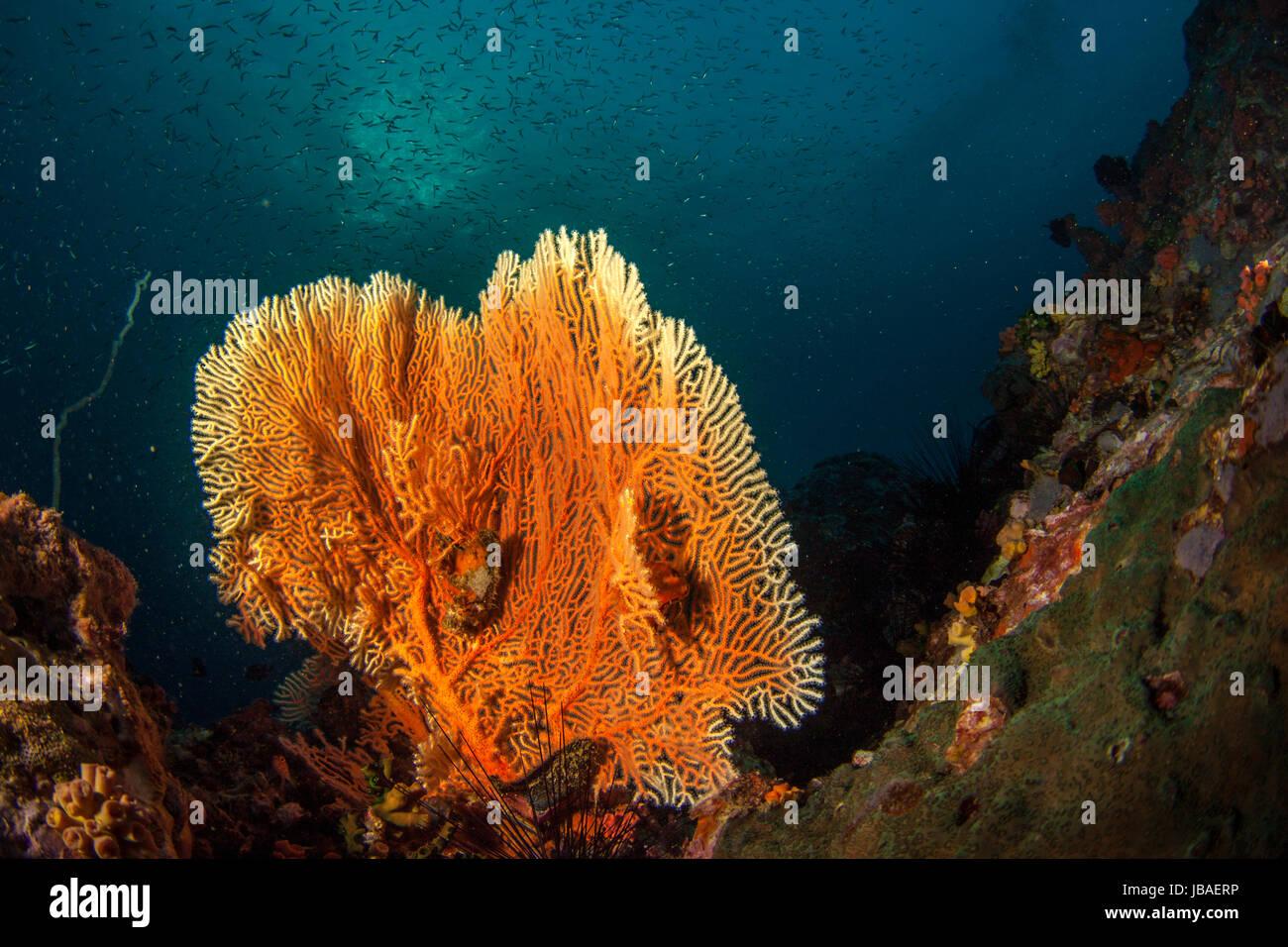 Fan de mar Gorgonia naranja saludable pie rodeado por una escolarización pequeños peces el agua azul oscuro Imagen De Stock