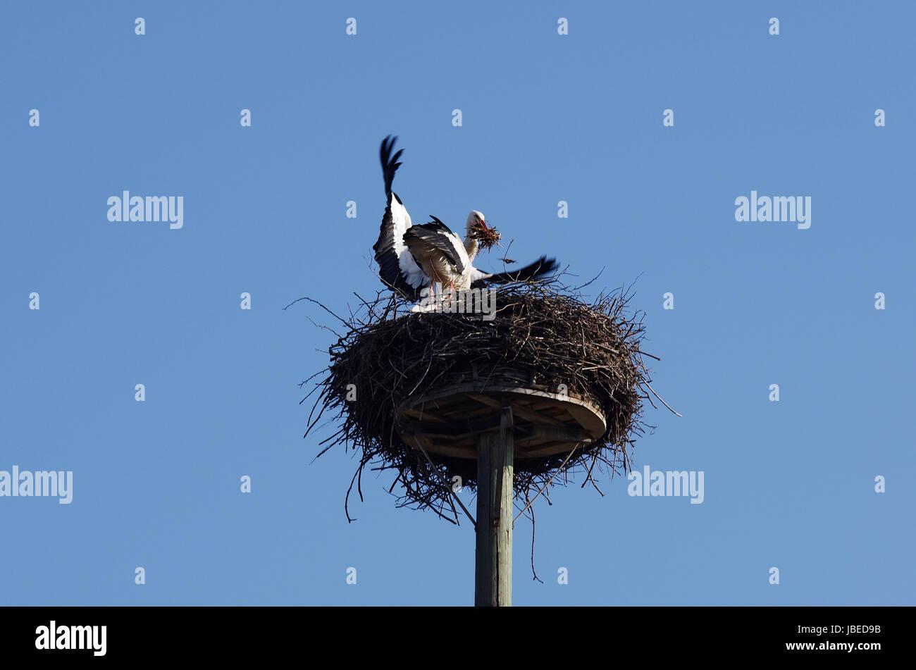 Weißstorchpaar beim Nestbau Foto de stock