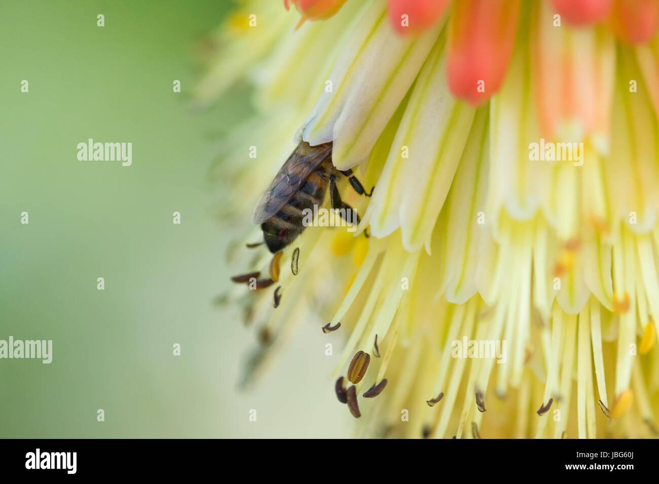 Abeja de miel Apis mellifera en flor de póker rojo caliente Foto de stock