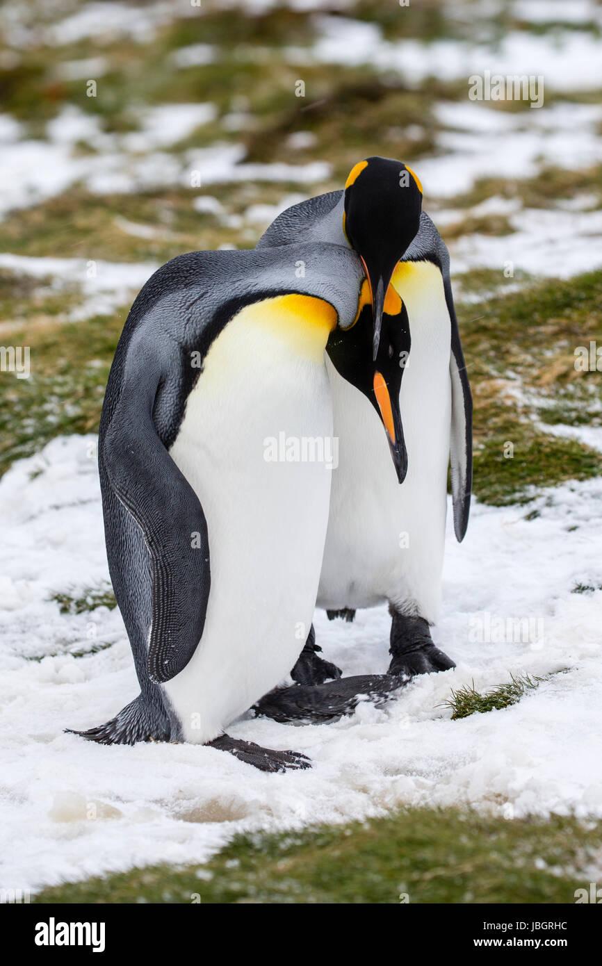 Pingüinos rey en la isla Georgia del Sur Imagen De Stock