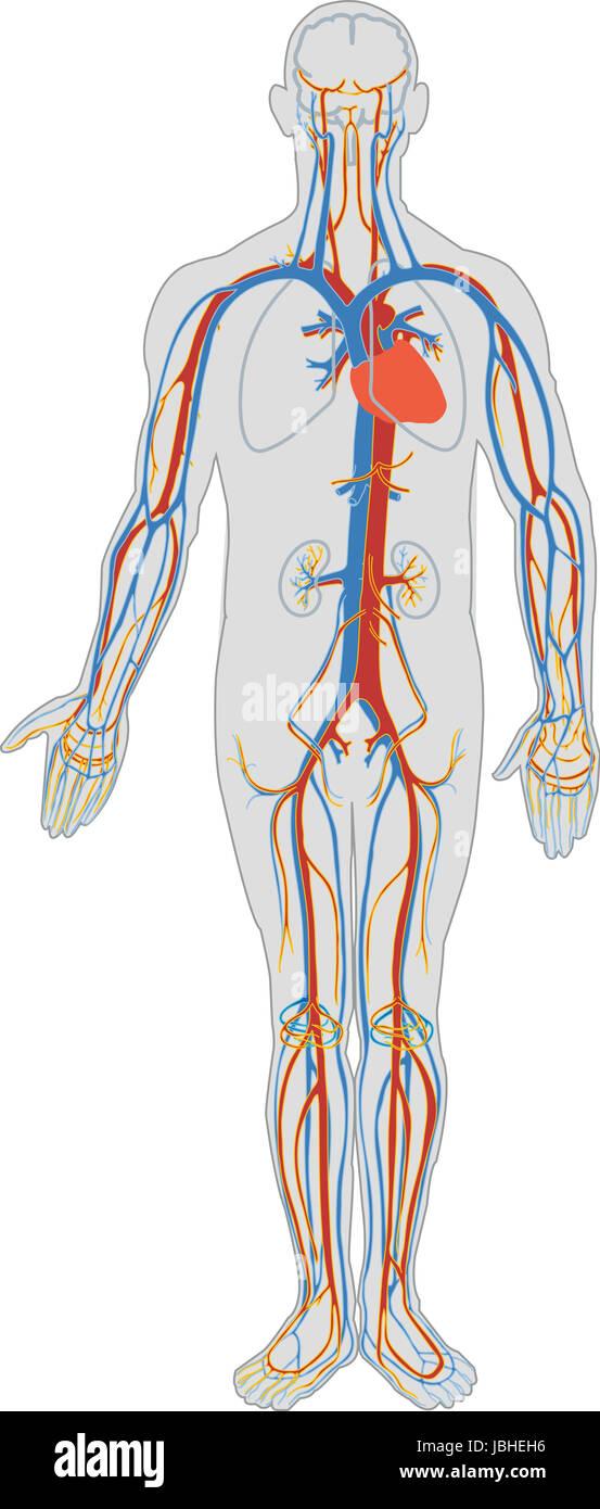 El cuerpo humano: corazón, arterias, venas y sangre Foto & Imagen De ...