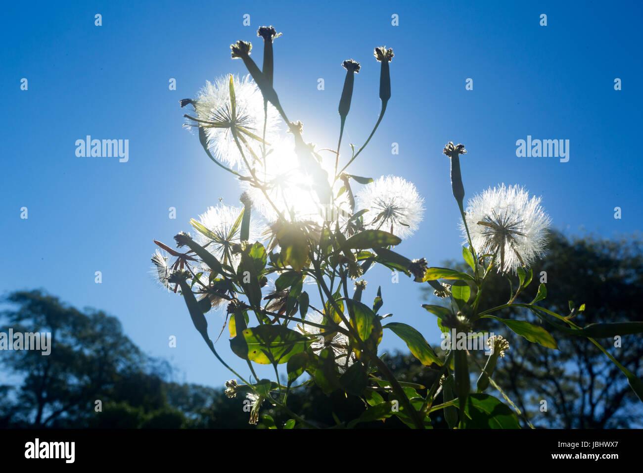 Sol brilla detrás de la planta de pore-hoja (Porophyllum sp.) flores en flor y cabezas de semillas listas para ser Foto de stock