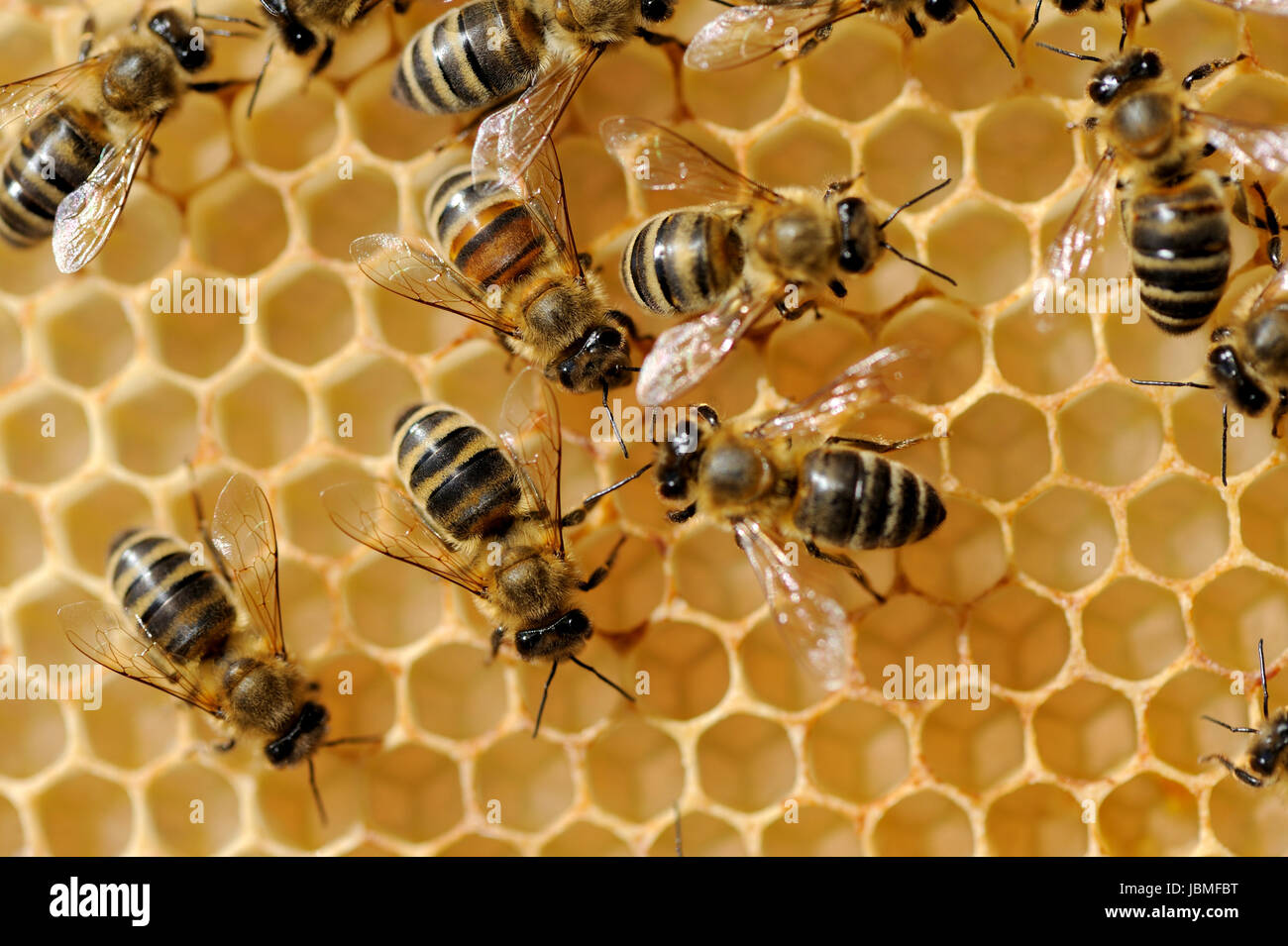 Vista de cerca de las abejas obreras en honeycells Imagen De Stock