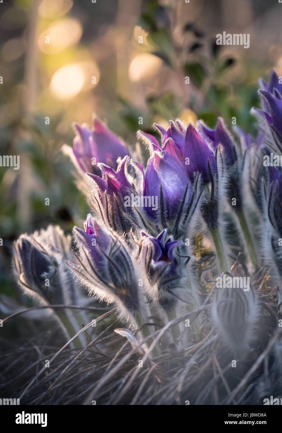 Muy raras pulsatilla patens flor en la luz del atardecer. Imagen De Stock