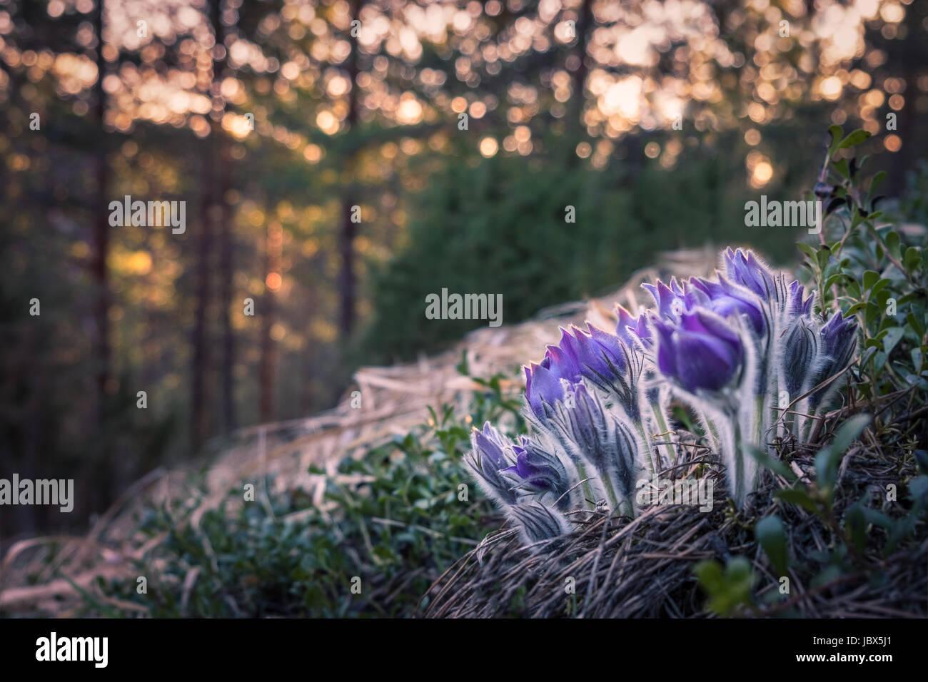 Muy raras pulsatilla patens flor en la luz del atardecer y Niza Imagen De Stock