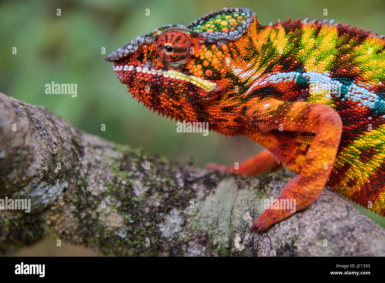 Colorido camaleón pantera (Furcifer pardalis), el Parque Nacional de Andasibe-Mantadia, Madagascar Imagen De Stock