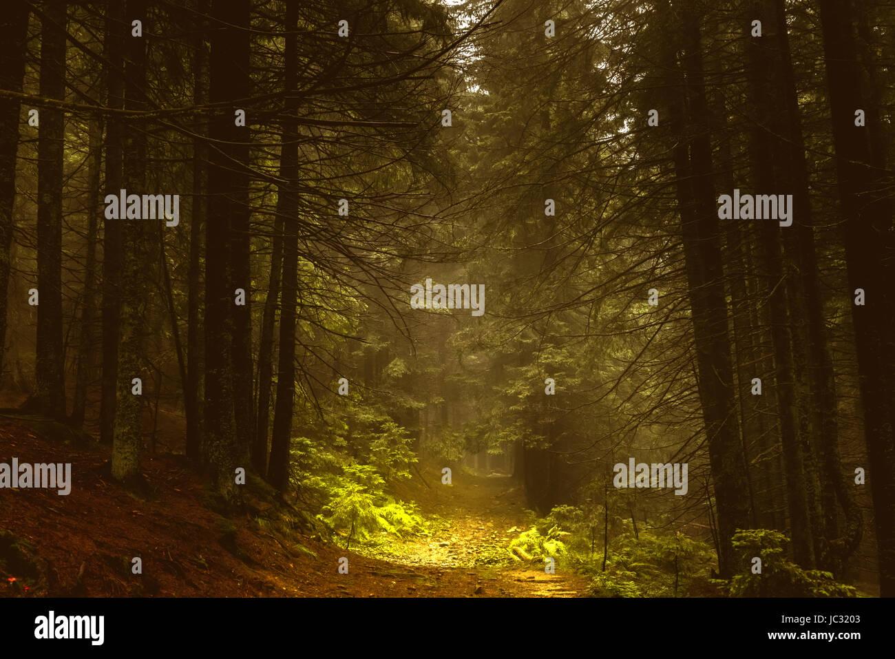 Otoño oscuro bosque de pinos en la niebla Foto de stock