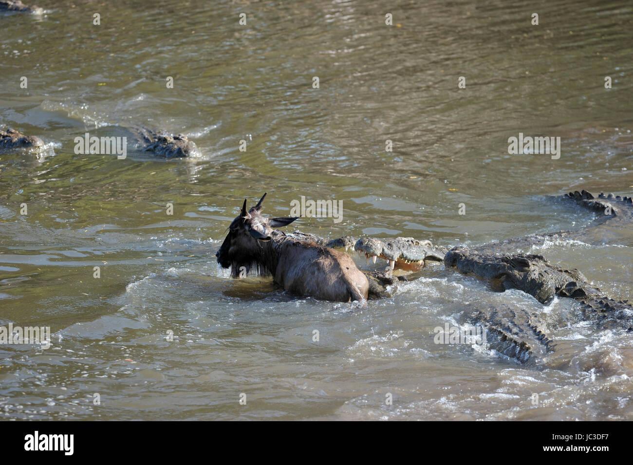 El cocodrilo del Nilo (Crocodylus niloticus) atrapan jóvenes (Ñus Connochaetes taurinus), río Grumeti, Imagen De Stock