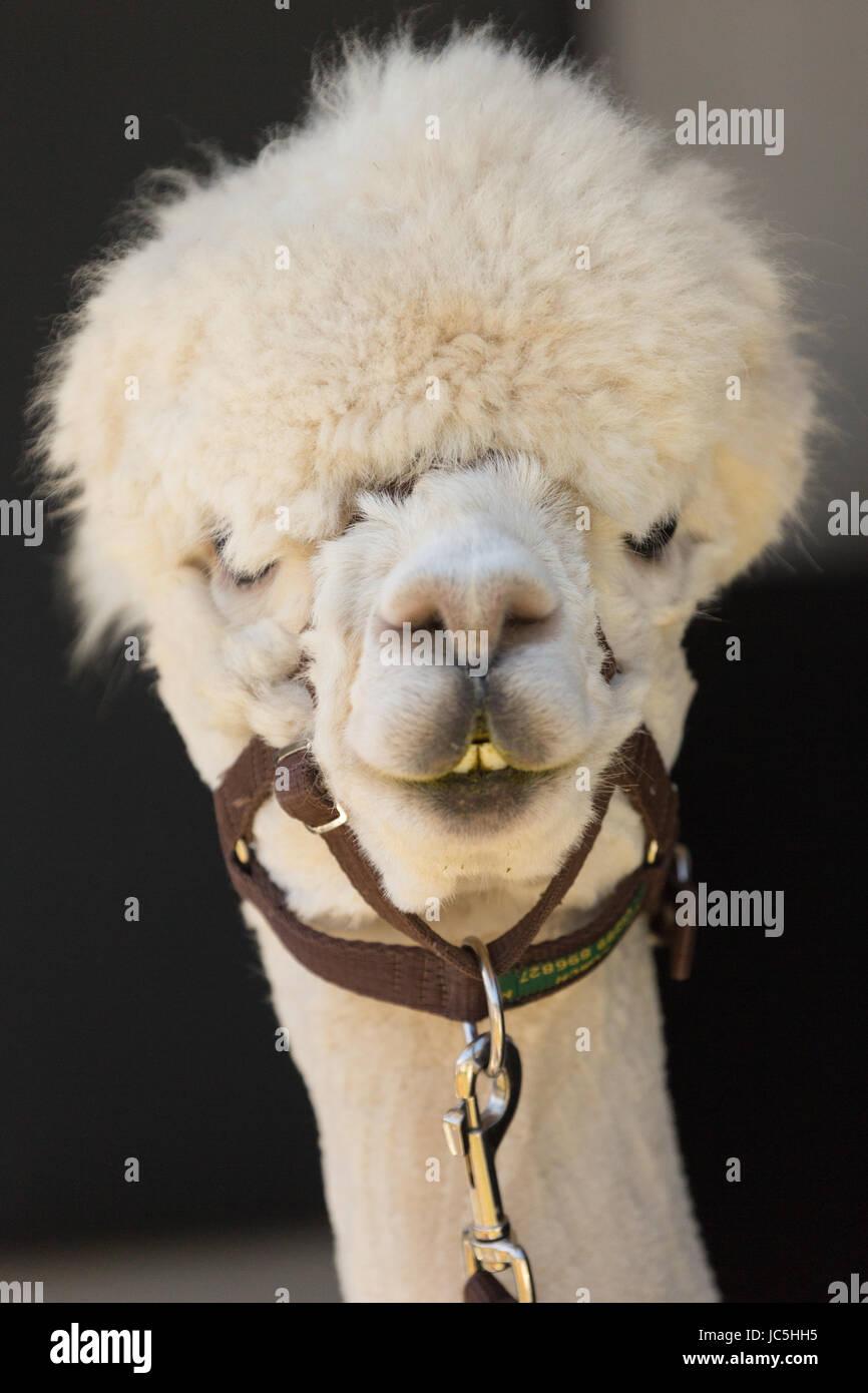 Disparo a la cabeza de color blanco cautivos de alpaca (Vicugna pacos) en la pantalla en la Feria del Jamón. Imagen De Stock