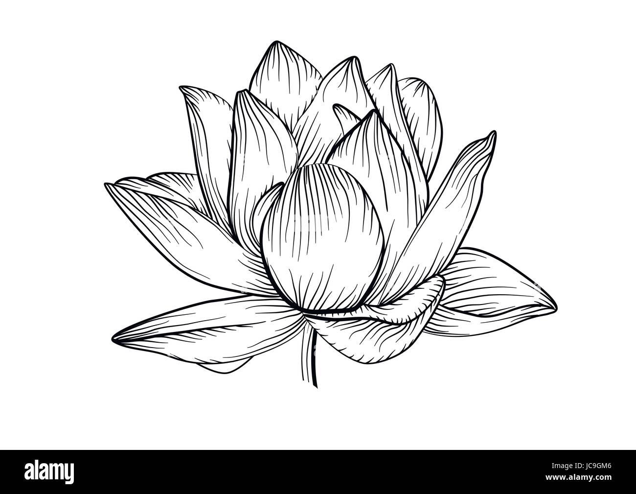 Lotus Nenúfar Vector Línea De Hermosas Flores En Blanco Y Negro