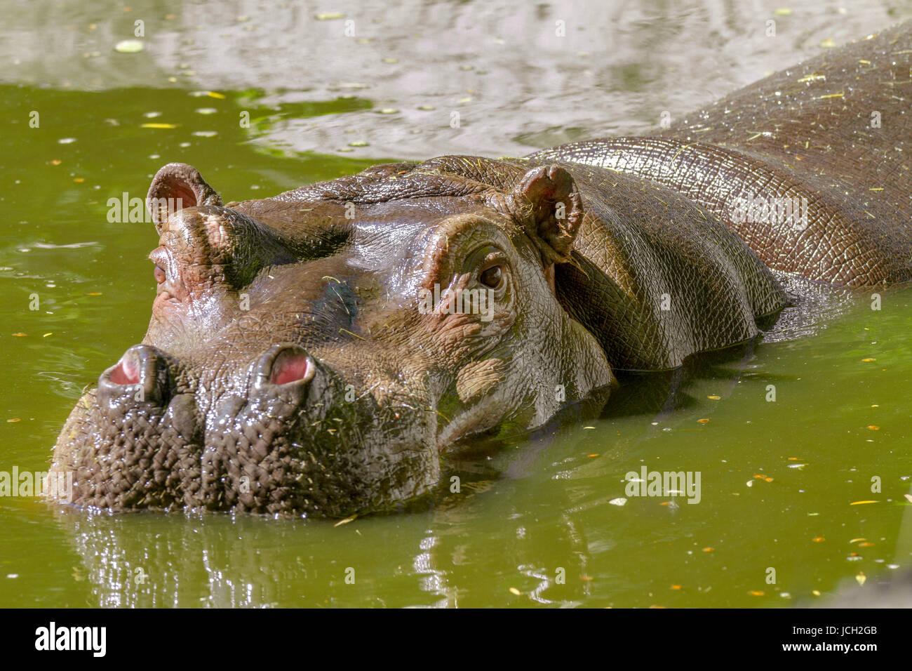 Imagen de un gran mamífero de un animal salvaje, hipopótamo en agua Foto de stock