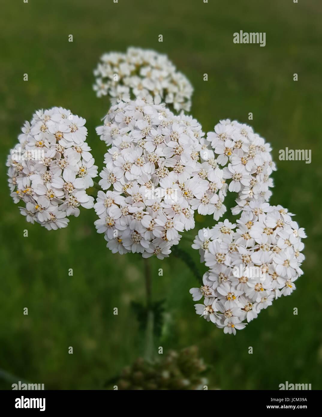 Schafgarbe; Achillea millefolium, Heilpflanze; Foto de stock