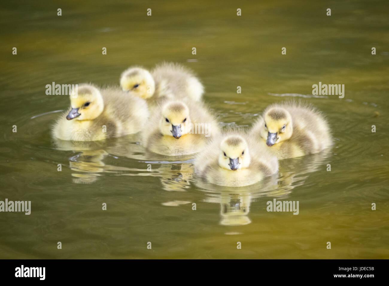 Cinco días de edad neonatal goslings, ganso de Canadá (Branta canadensis) nadando en un estanque. Edmonton, Alberta, Canadá. Foto de stock