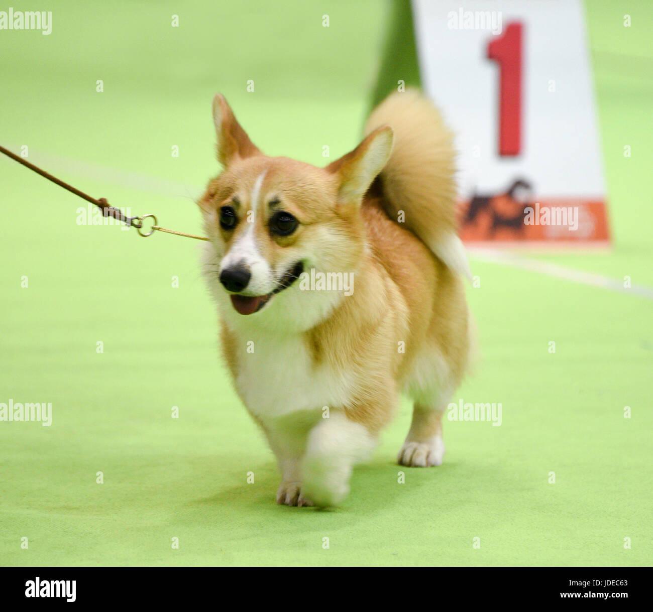Welsh Corgi Pembroke en un dogshow Foto de stock