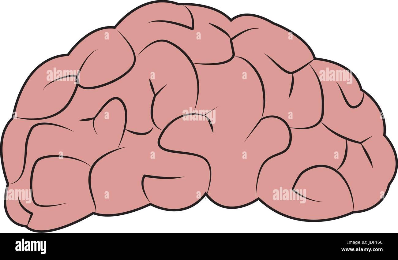 Dibujo parte de organos humanos anatomía cerebral Ilustración del ...