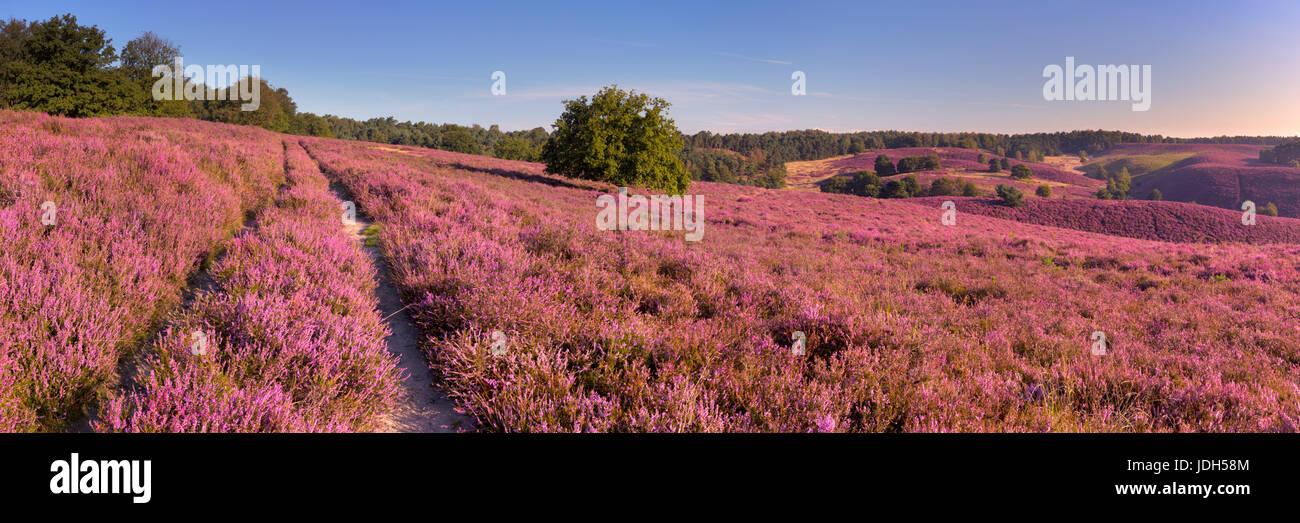 Una ruta a través de interminables colinas con blooming Heather. Fotografiado en el Posbank en los Países Imagen De Stock