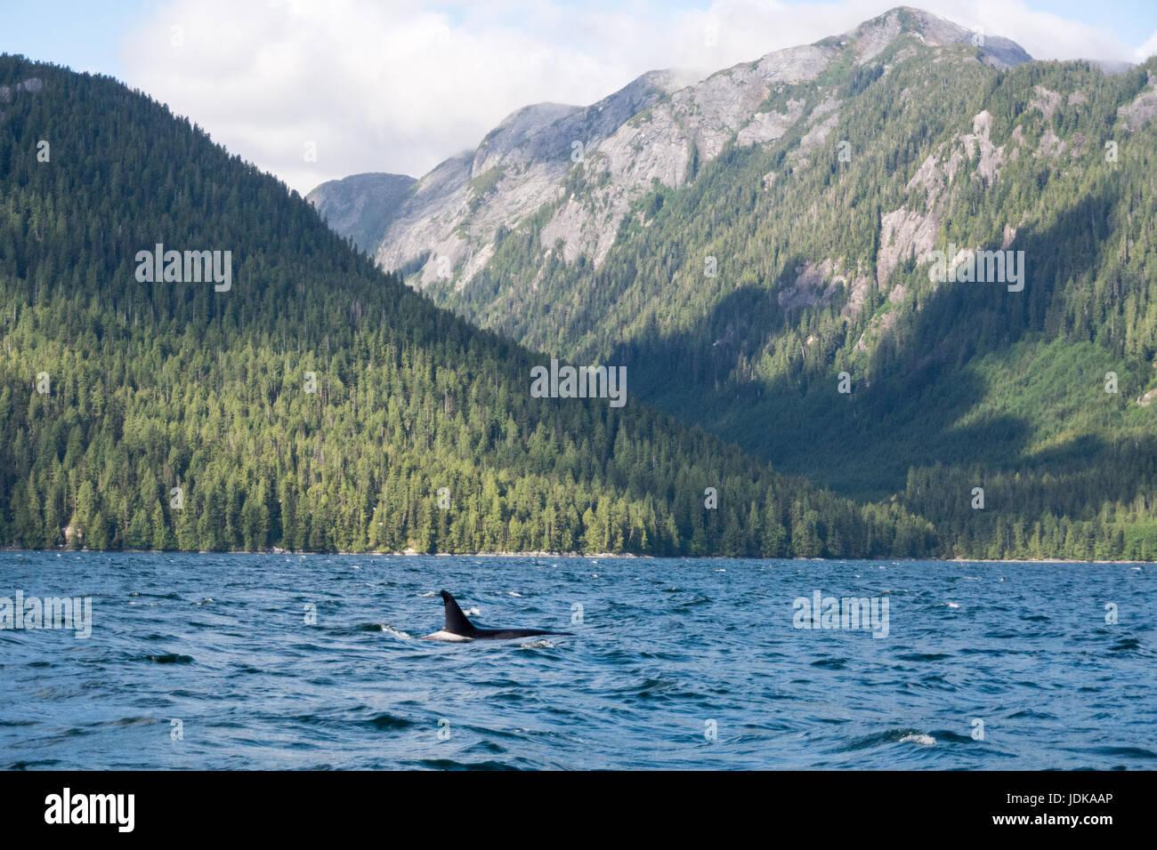 Un solitario resident Orca nadando en la distancia en el canal de ballenas, en The Great Bear Rainforest región de British Columbia, Canadá. Foto de stock
