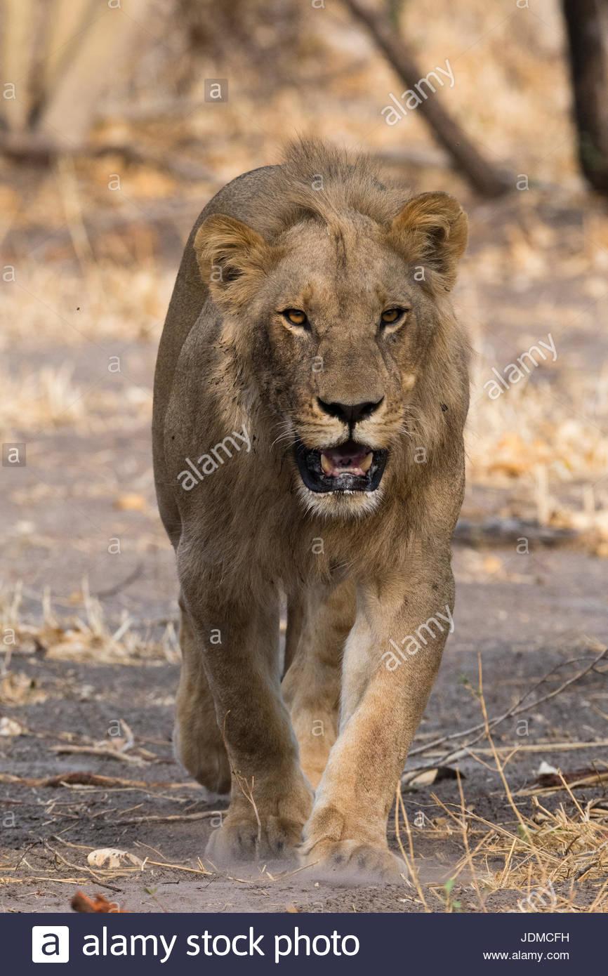 Un león macho, Panthera leo, caminando y mirando a la cámara. Imagen De Stock