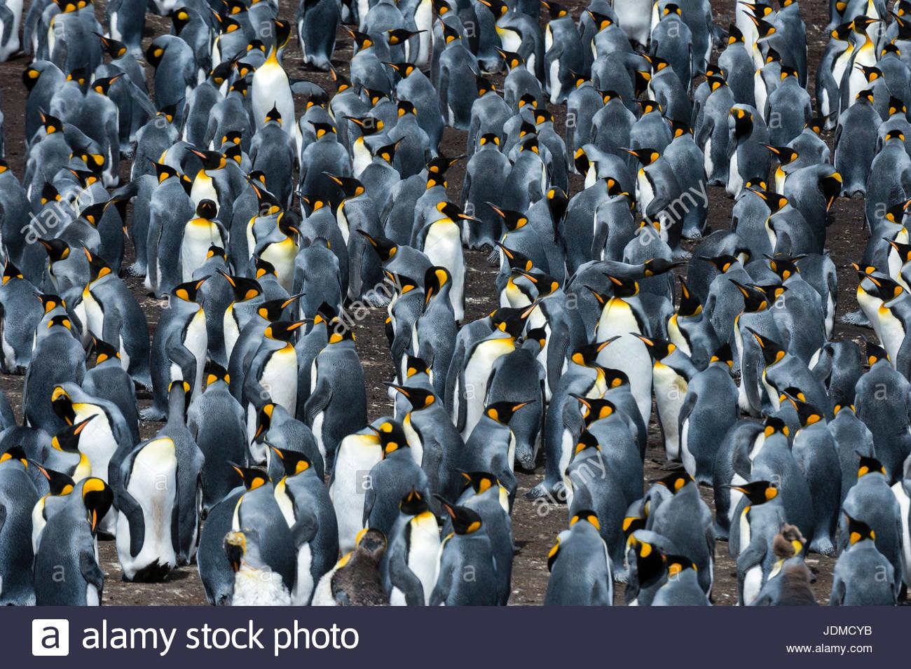 Una colonia de pingüinos rey, Aptenodytes patagónica. Imagen De Stock