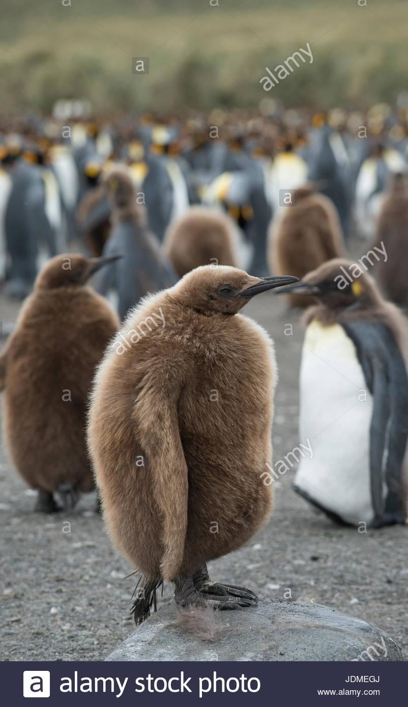 Pingüinos rey juvenil de pie en un grupo grande junto a la playa. Imagen De Stock