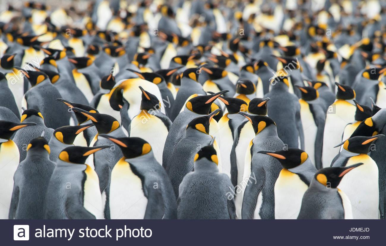 Pingüinos rey, adultos aptenodytes patagonicus, permanecer en un grupo junto a Gold Harbor. Imagen De Stock