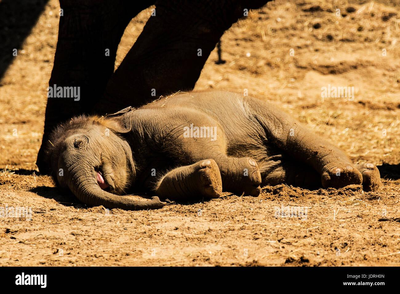 Ìt era la hora de la siesta para este bebé elefante mientras su madre se situó por Imagen De Stock