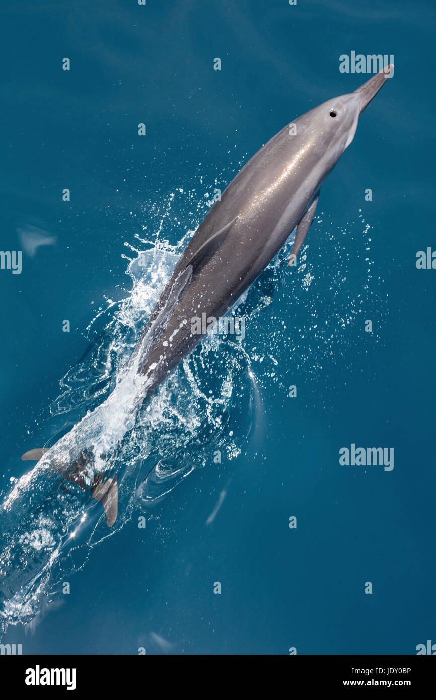 Delfines, Stenella longirostris, Melanesia, el Océano Pacífico, las Islas Salomón Foto de stock