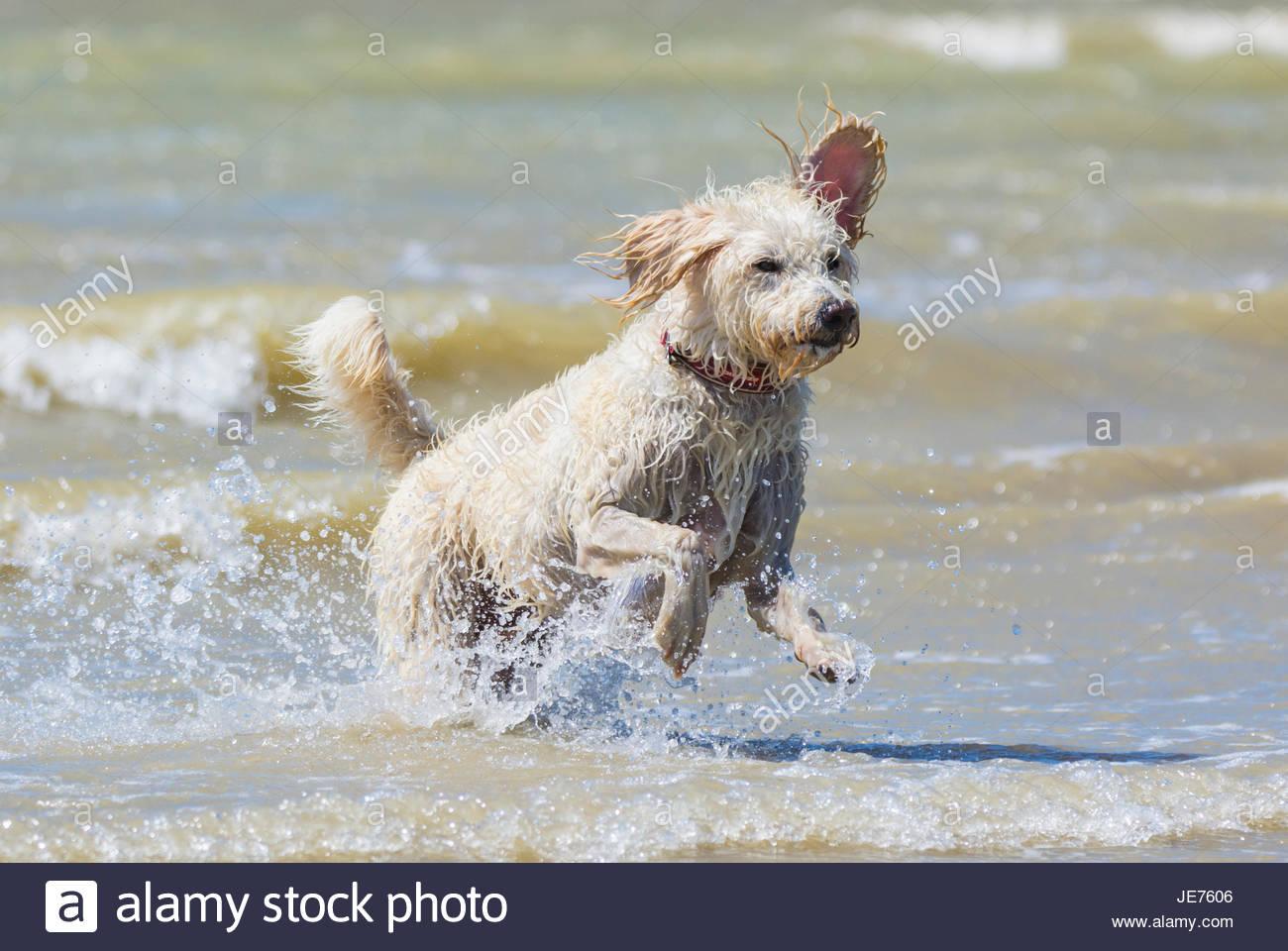 Perro Labradoodle mantener refrigerado en el mar en un día caluroso. Imagen De Stock