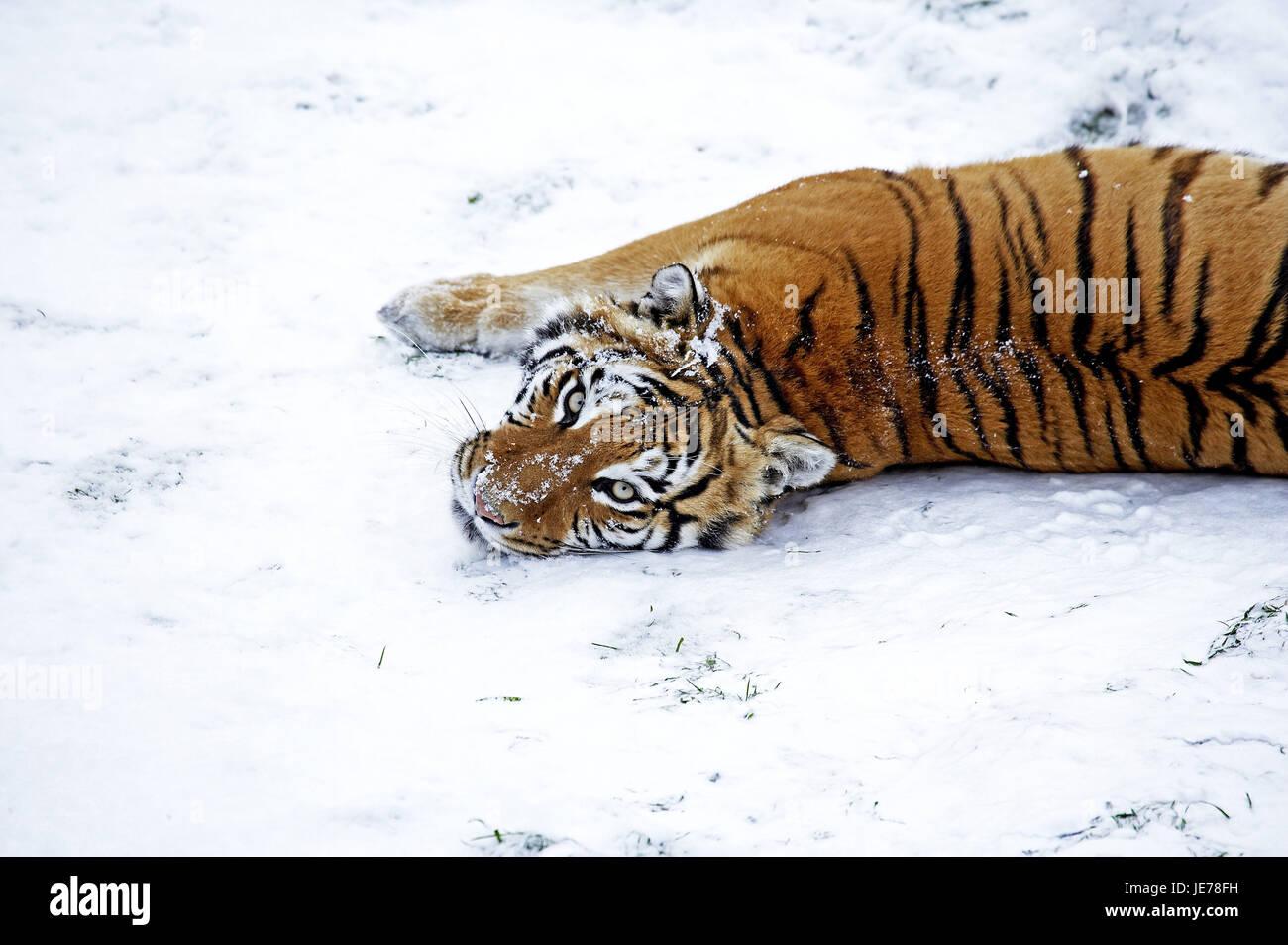 Los tigres siberianos, Panthera tigris altaica, también Amur, tigre, animal adulto, soporte, nieve, Imagen De Stock