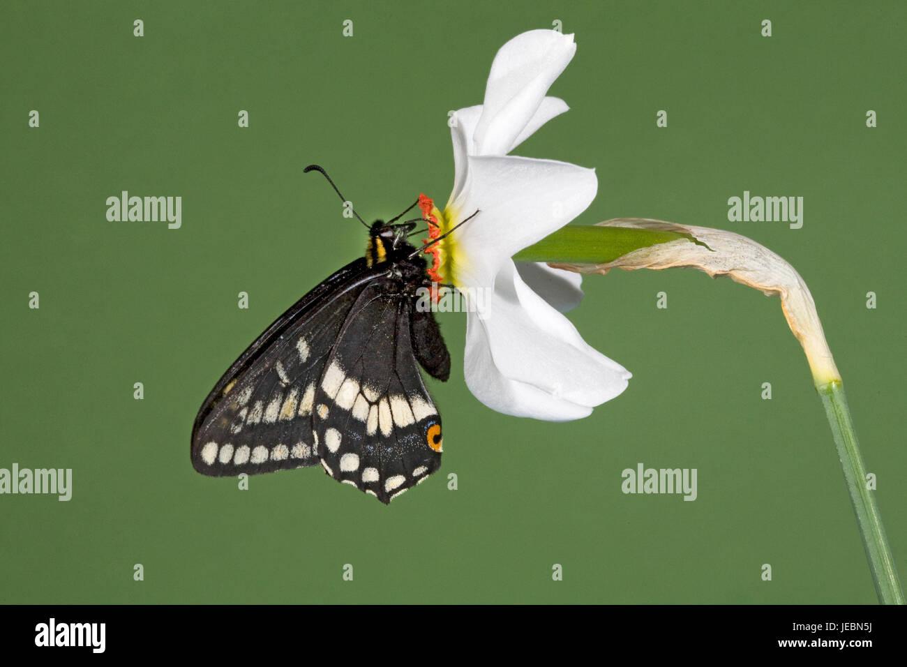 Especie de Indra, mariposas Papilio indra, nectaring en un faisán's eye flor salvaje, Narciso Poetica, Río Metolius, Camp Sherman, Oregon. Foto de stock
