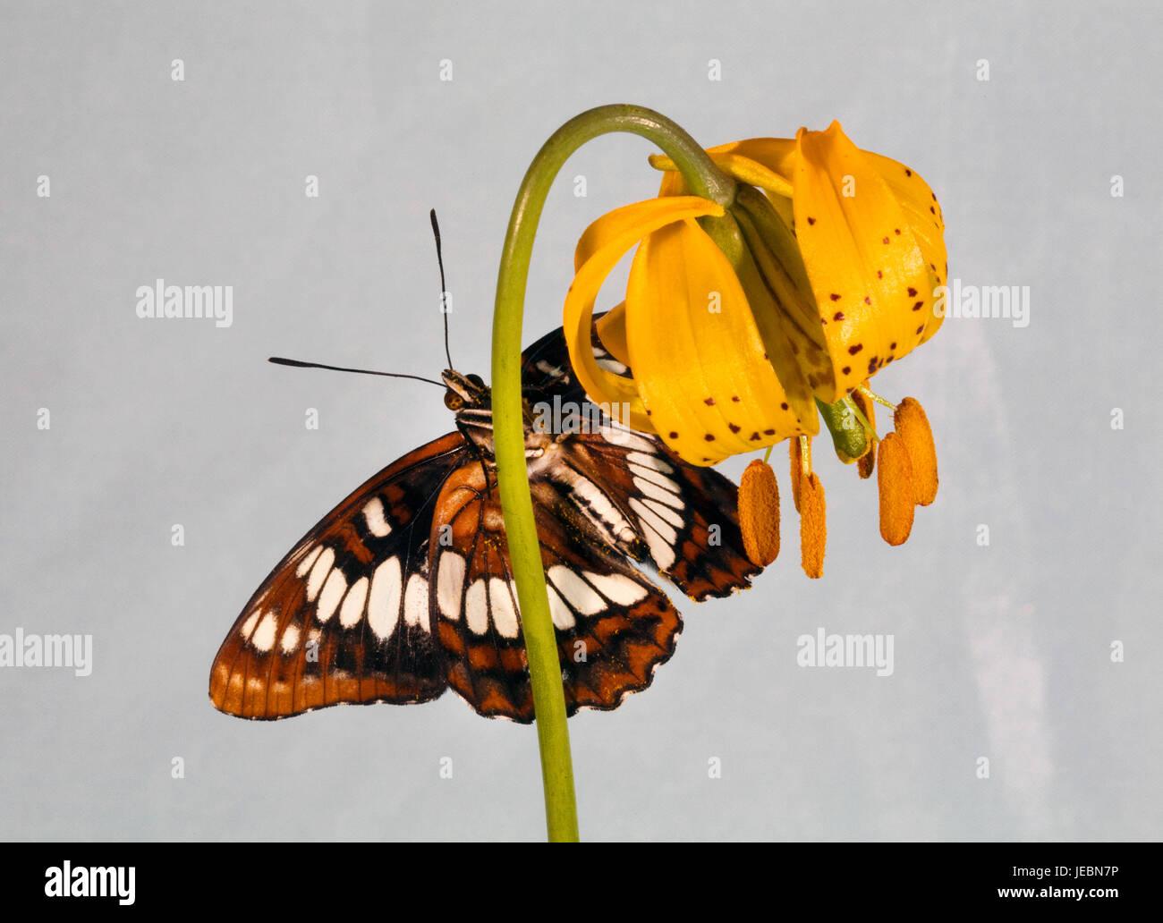 Un almirante del Lorquin butterfly, Limenitis lorquini, descendieron en un lirio Colombino wildflower. Foto de stock