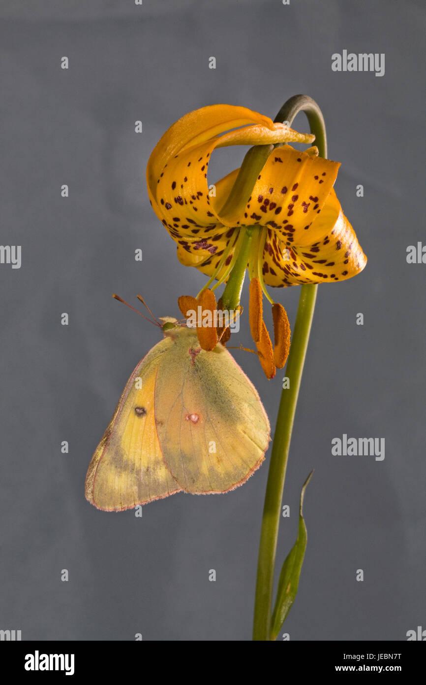 Una nublado azufre, Colias philodice eriphyle mariposas, en un lirio, Columbia o TIGER LILY, Lilium columbianum, sobre el río Metolius, Oregón Foto de stock