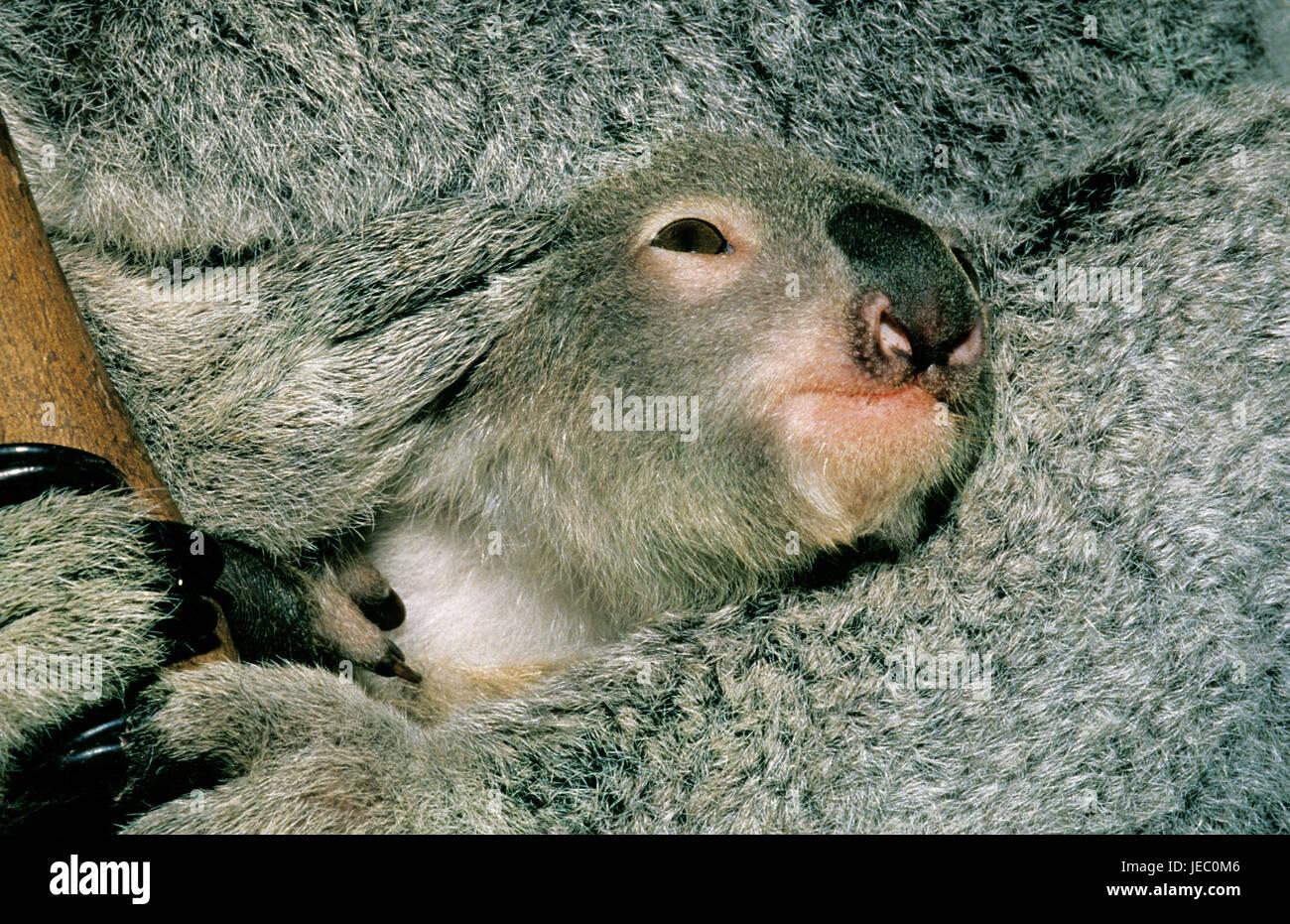 Los koalas, Phascolarctos cinereus, joven animal, cabeza, fur, mediana de cerca, Australia Imagen De Stock