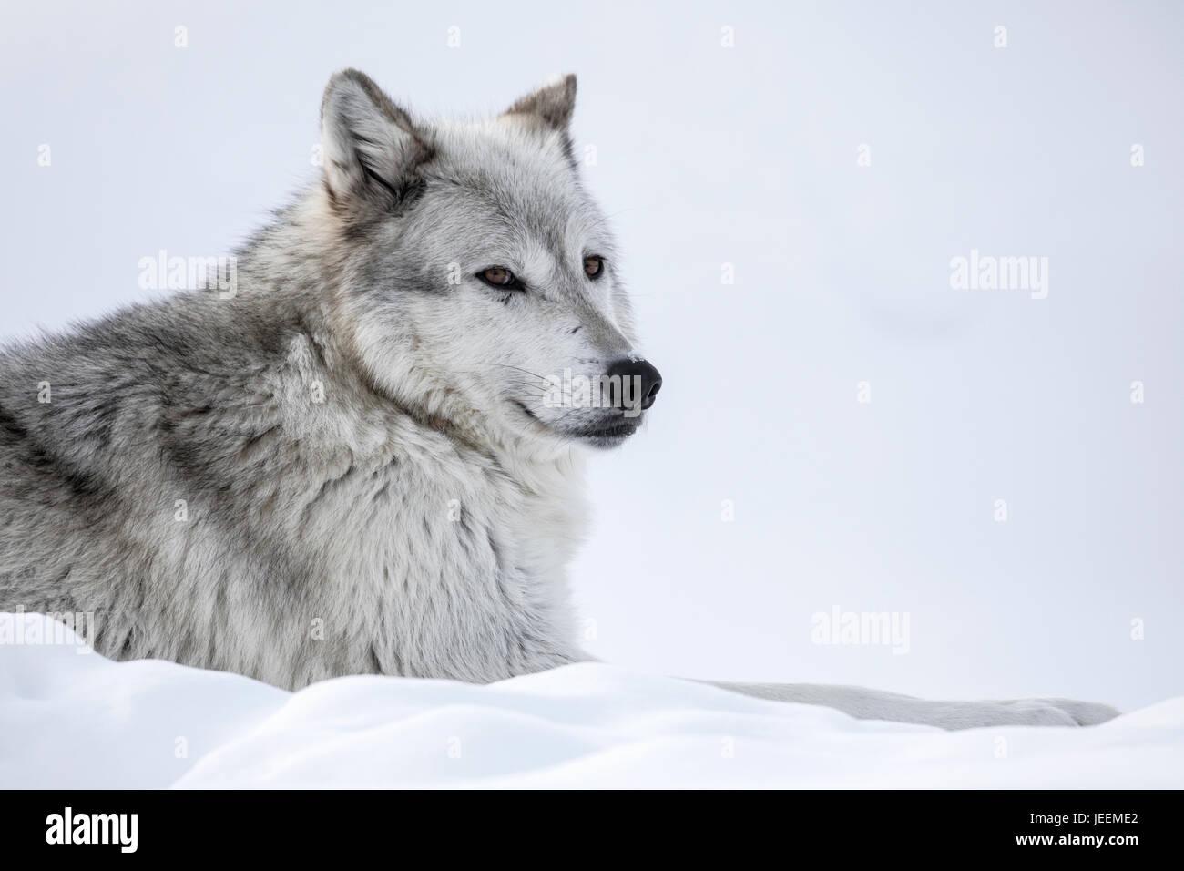 Lobo gris Imagen De Stock