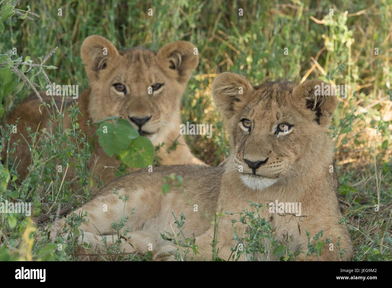 Dos cute cachorros de león tumbado en la hierba en la zona Mombo jefes de isla en el Delta del Okavango Botswana Foto de stock