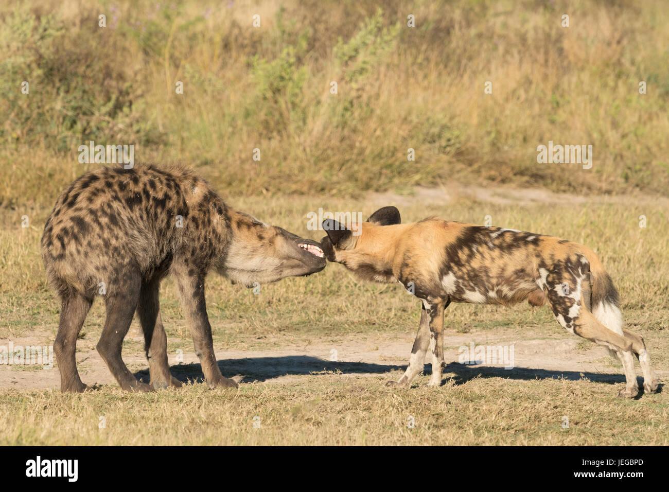 Perros salvajes africanos interactuando con spotted hyaena Imagen De Stock