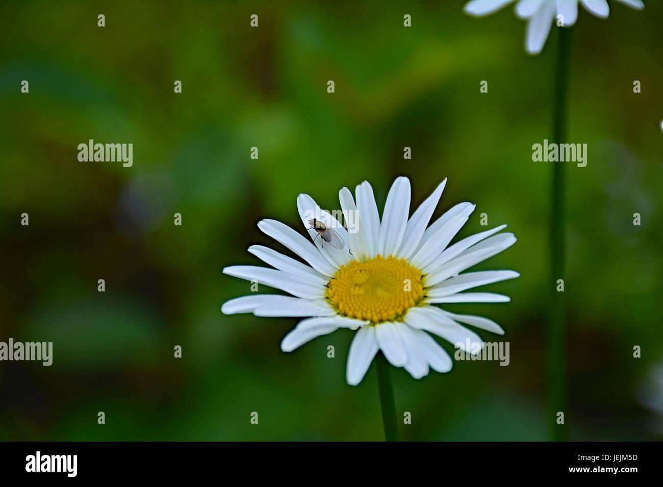 Una pequeña mosca Daisy blanco se asienta sobre un pétalo. Marco, la ...