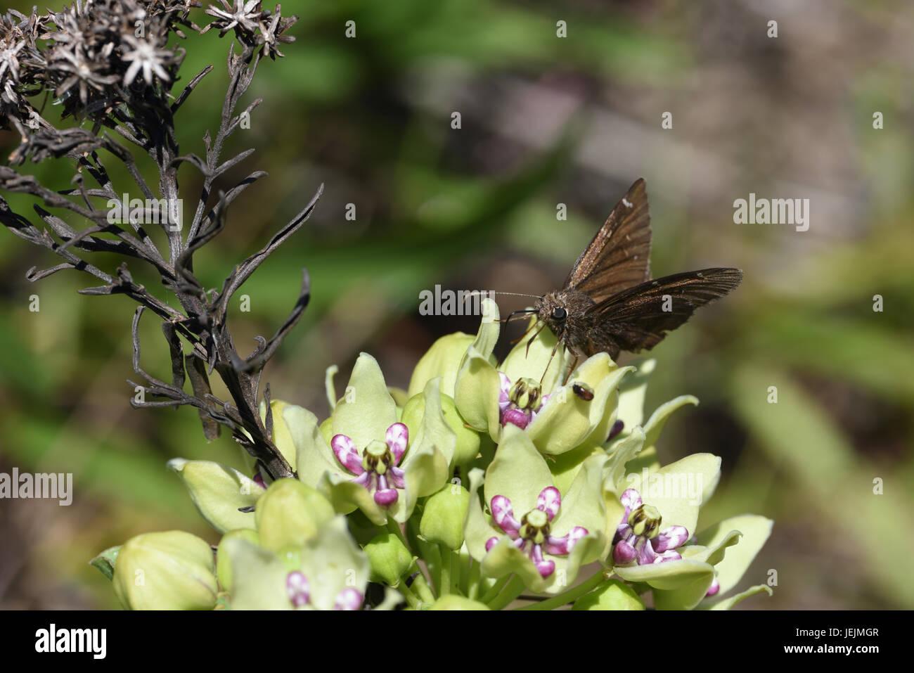 Norte Cloudywing sobre asclepias verde Foto de stock