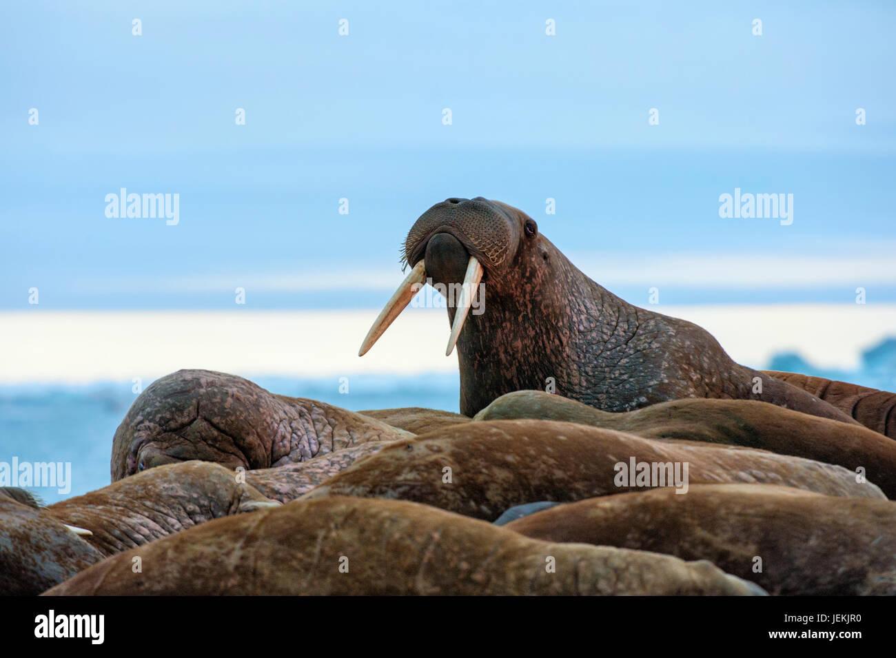 Los últimos rayos de sol vespertino golpeando a un grupo de morsas (Odobenus rosmarus, isla de Wrangel, Mar Imagen De Stock