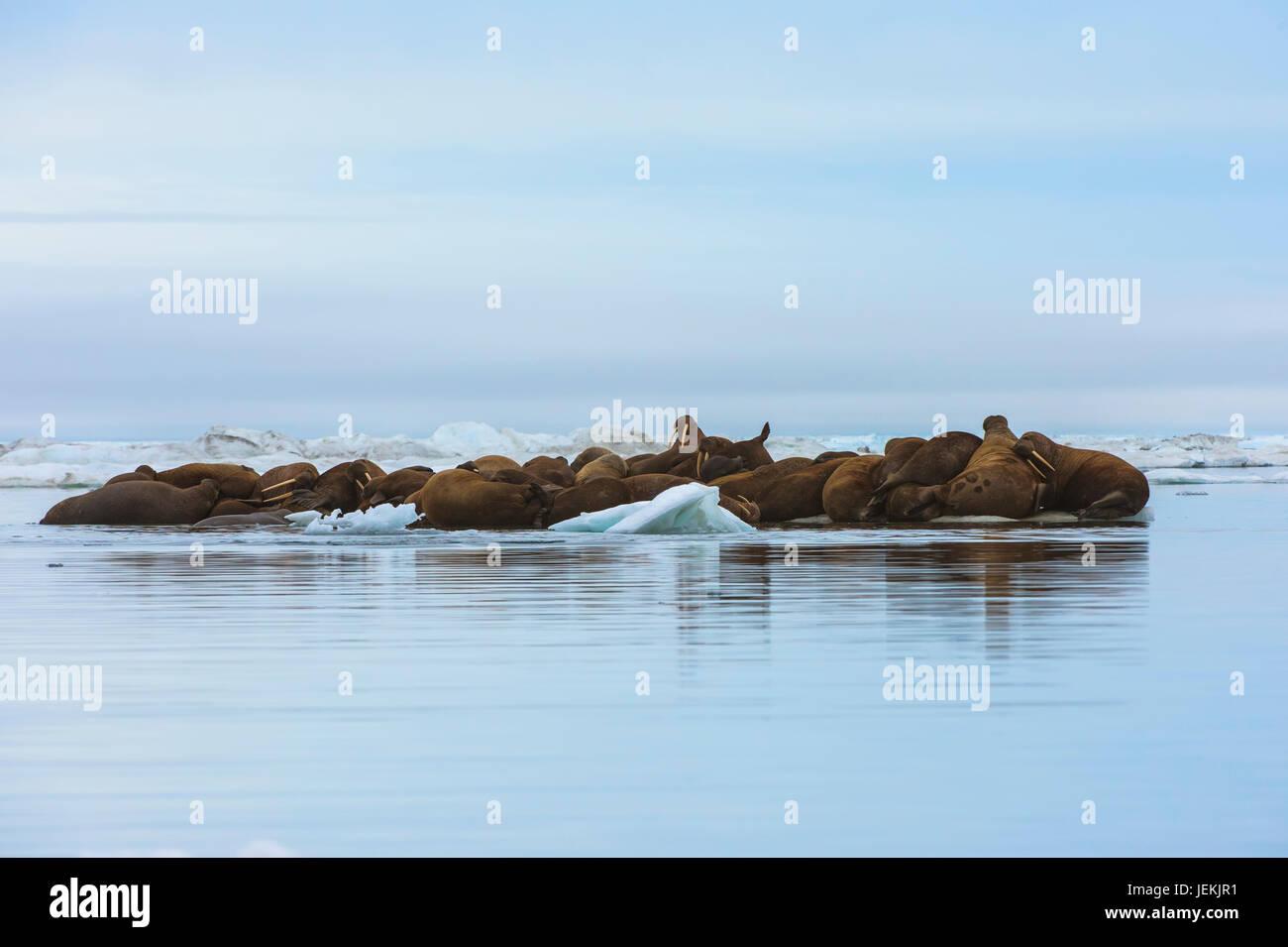Grupo de morsas (Odobenus rosmarus) descansa sobre un flujo de hielo, Krasin Bay, isla de Wrangel, Mar Chuckchi, Chukotka, Lejano Oriente ruso, la Unesco Heritag mundial Foto de stock