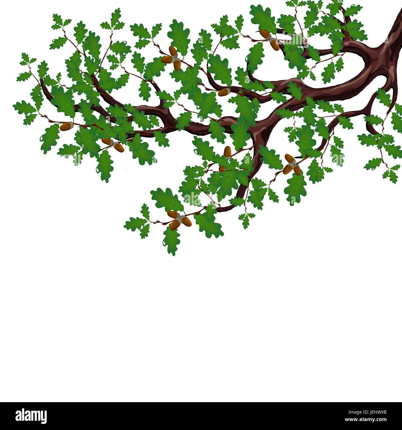 Una Rama Verde De Un Gran árbol De Roble Con Bellotas Sin Un Dibujo
