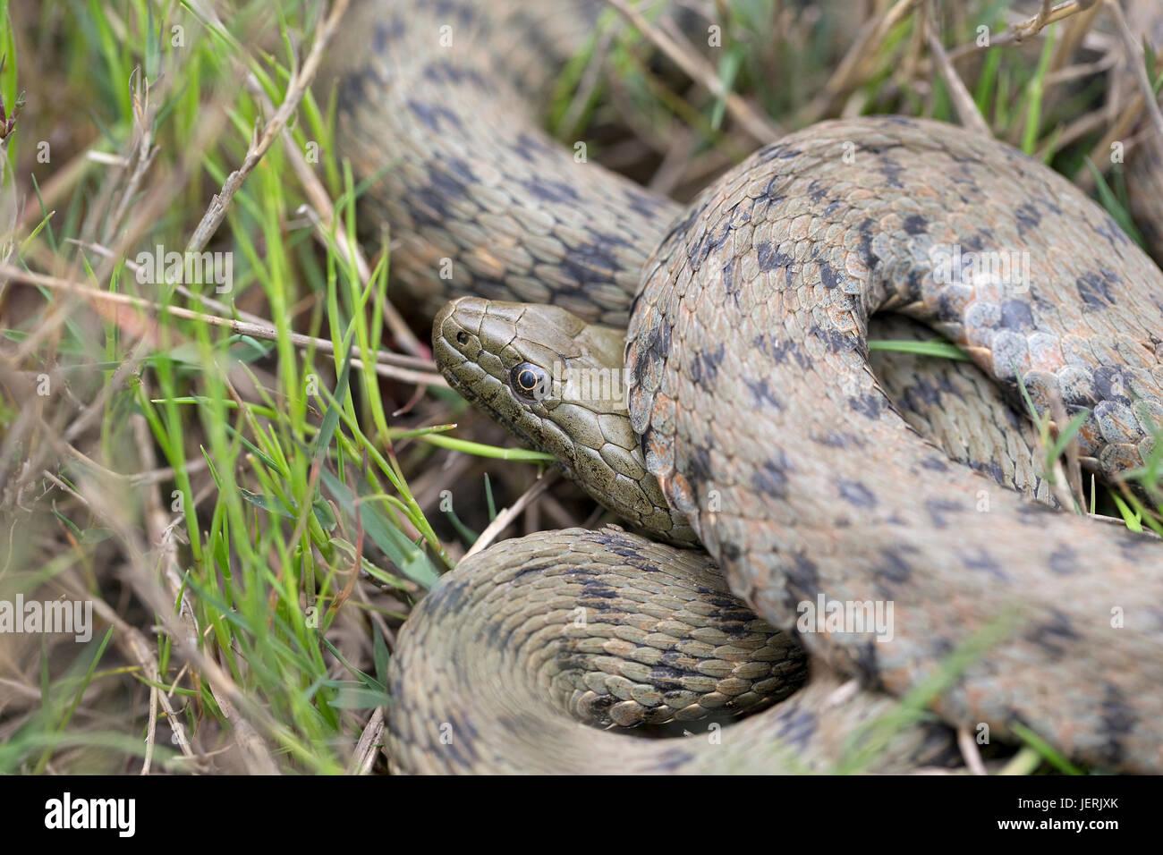 Dados la serpiente (Natrix tessellata) Imagen De Stock