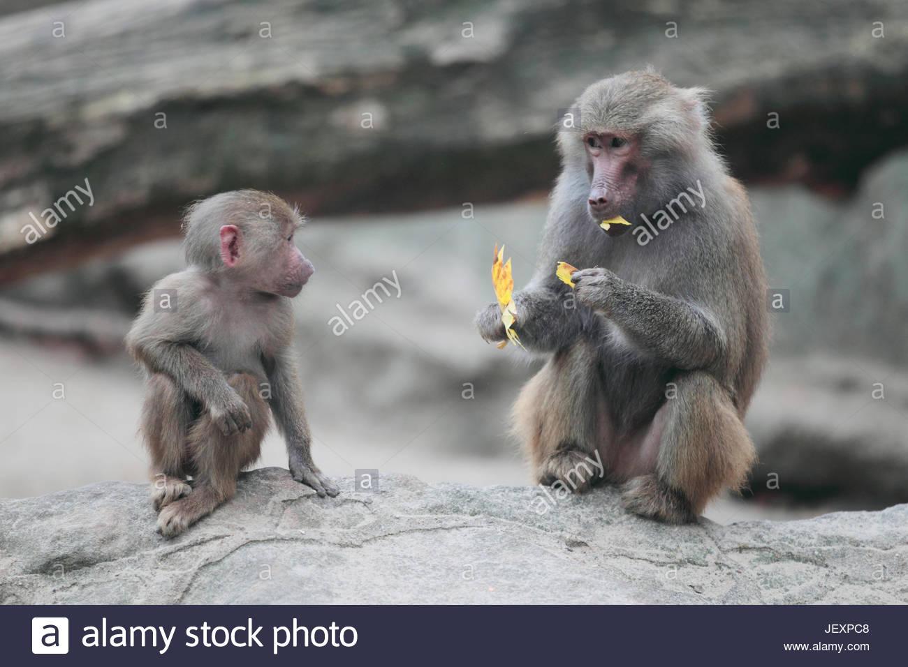 Retrato de un joven y adulto o asustado hamadryas baboon, Papio hamadryas baboon, una especie de la familia de monos Imagen De Stock