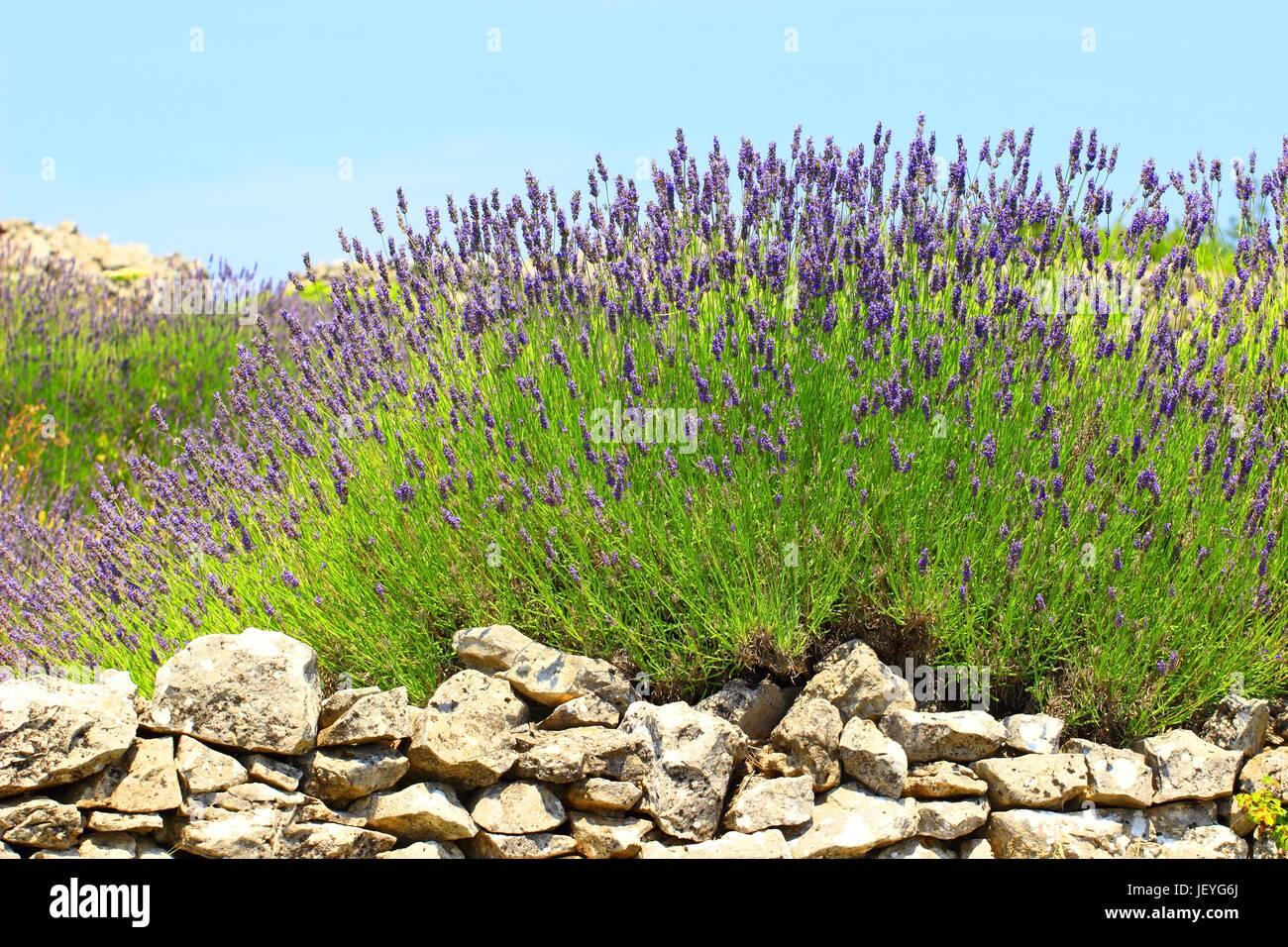 La lavanda en piedra seca, Isla de Hvar, Croacia Imagen De Stock