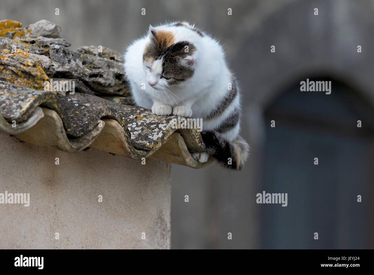 Gato doméstico (Felix catus) Foto de stock