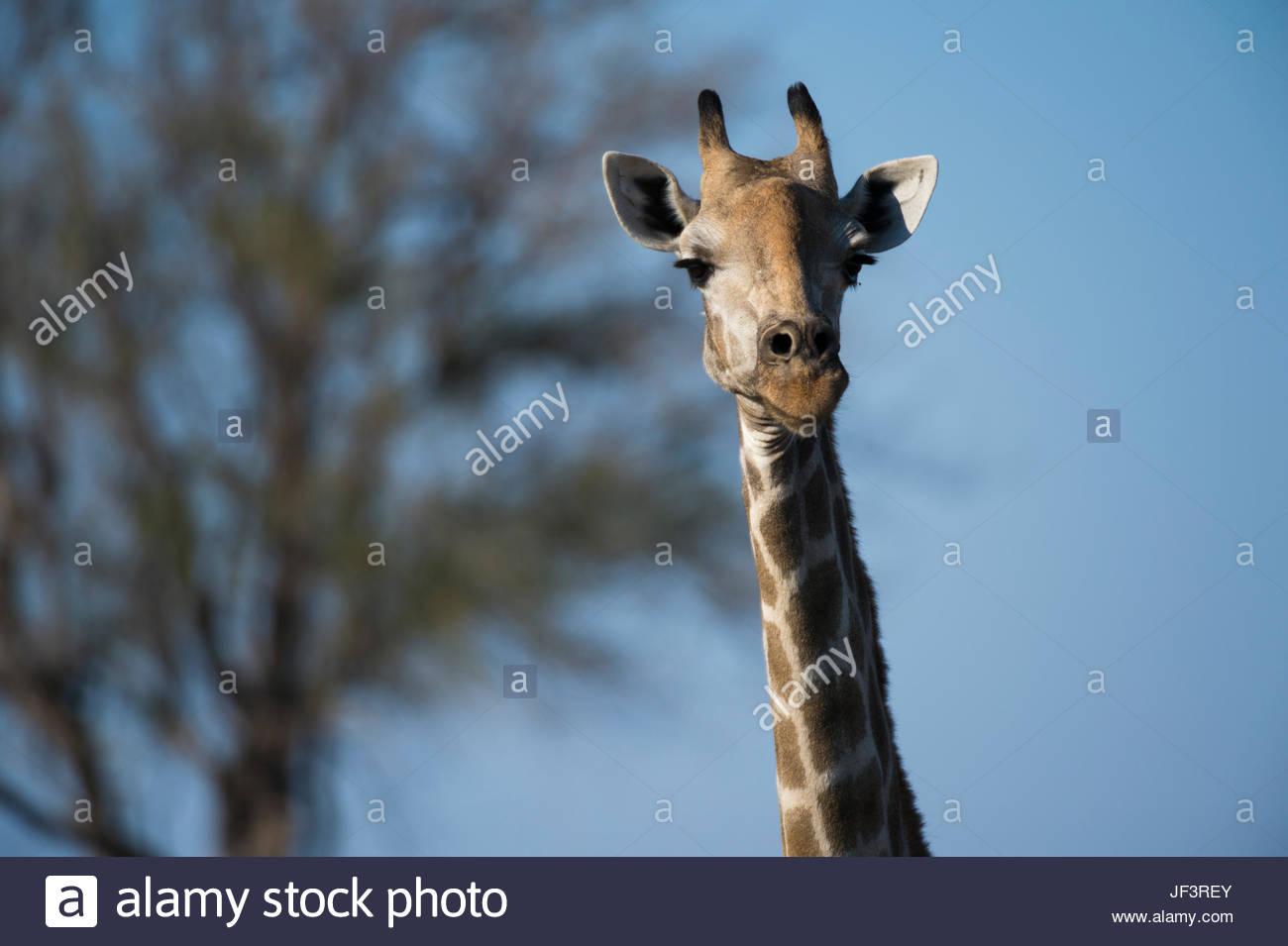Retrato de una mujer del sur de jirafas, Giraffa camelopardalis giraffa, mirando a la cámara. Imagen De Stock