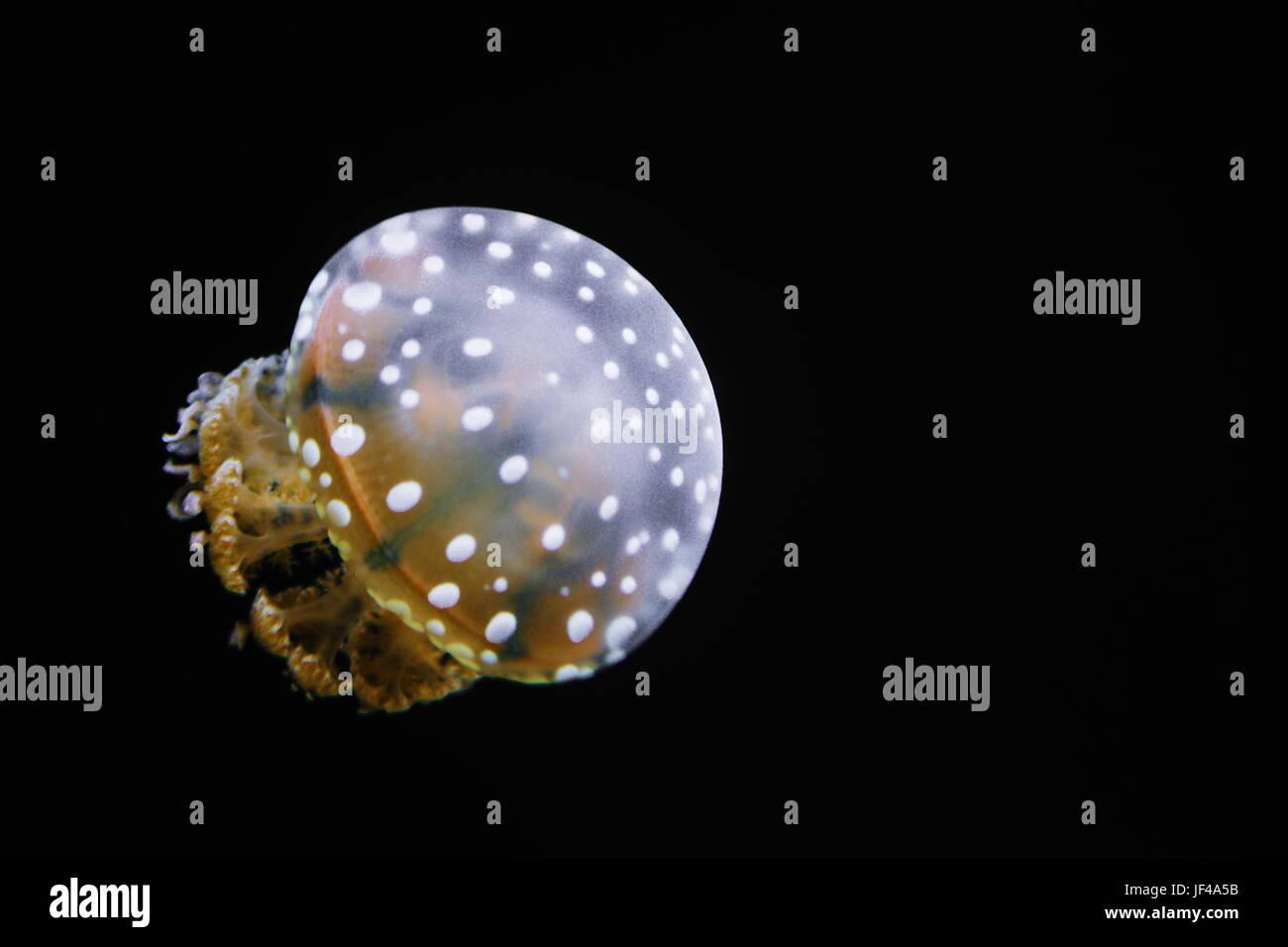 Manchada de Jelly (Mastigias papua) - es una especie de medusas del Indo-Pacífico. En lugar de una sola boca, tienen varios pequeños boca openin Foto de stock