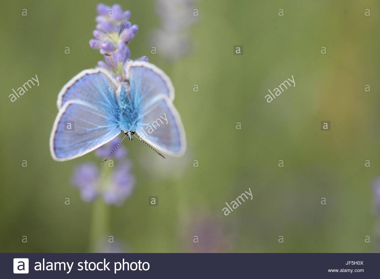 Retrato de una mariposa azul común, Polyommatus icarus, sobre una flor de lavanda Lavandula angustifolia. Imagen De Stock